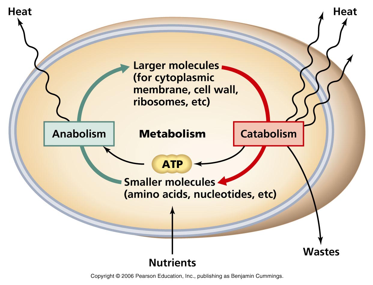 catabolic and anabolic difference